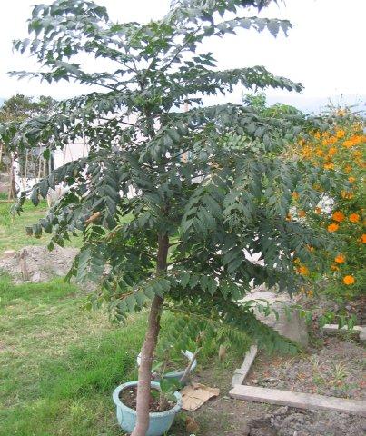 台灣櫟樹.JPG