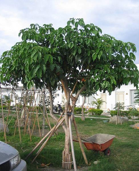 茄苳樹2.JPG