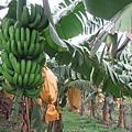 香蕉樹4.JPG