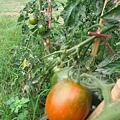 蕃茄樹.JPG