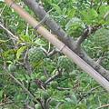 釋迦樹.JPG