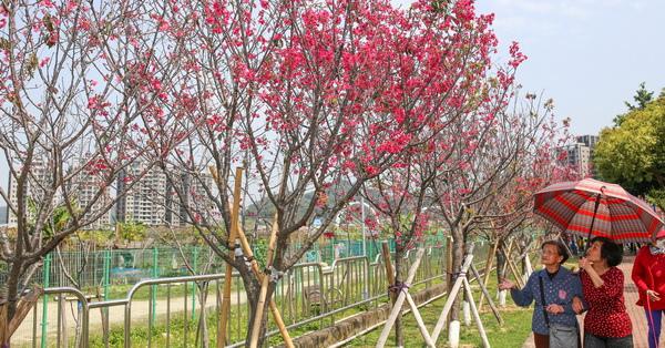 台中太平|麗園公園櫻緣道-三百多棵山櫻花、吉野櫻、河津櫻,公園就有美麗櫻花