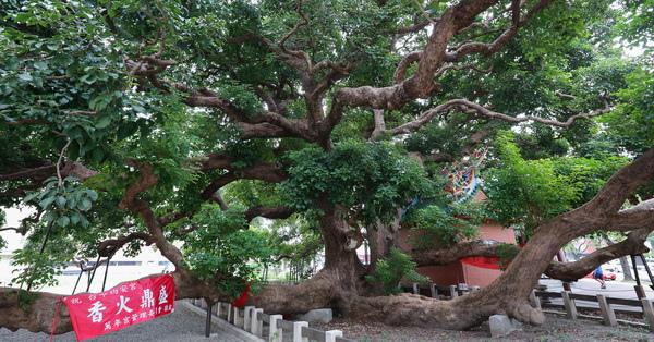 台中西區|茄苳樹王文化生態公園-台灣平地最大的千年茄苳神木,譽為台中之寶