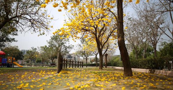 《台中.北屯》大坑廍子公園-黃金風鈴木開花了