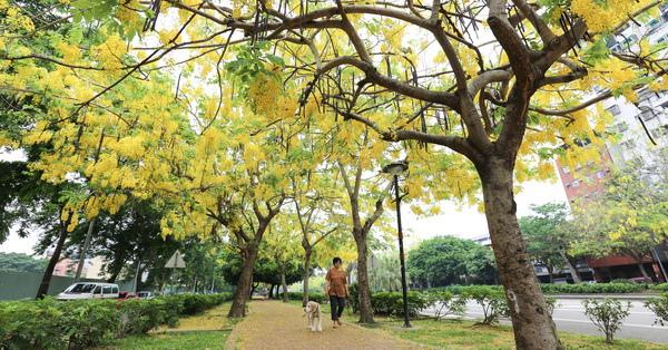 台中南區|興大路黃金阿勃勒大道,花瓣飄下黃金雨,步道鋪成黃金地毯