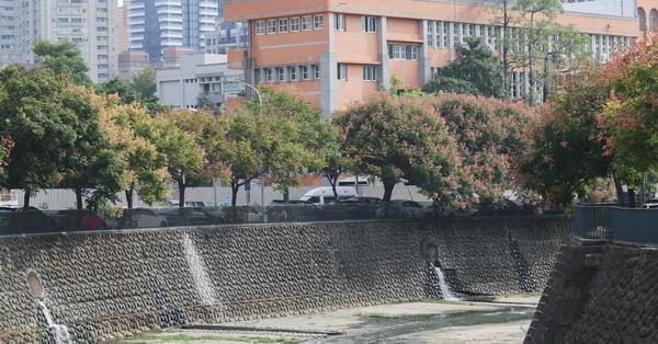 台中西區|麻園頭溪畔-整排台灣欒樹盛開,還有小橋、流水、人家