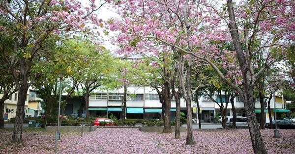 台中東區|大智公園-洋紅風鈴木爆開,落花形成一片花毯