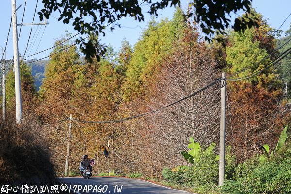 台中東勢|東北巷落羽松-馬路旁一整片落羽松森林,還有生態蓮花池