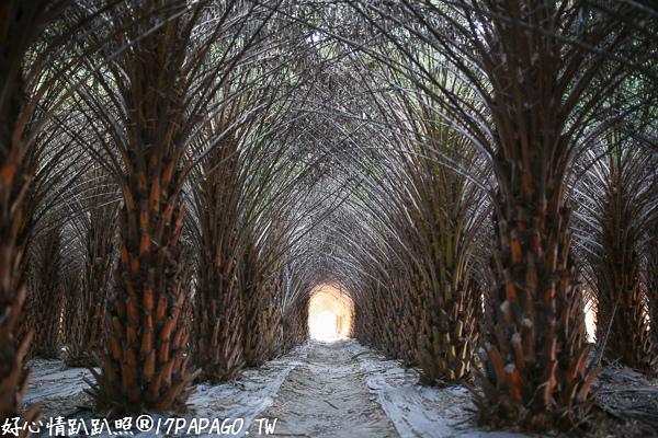 《台中.大肚》大肚中東海棗田&落羽松森林,壯觀挺拔又整齊像隧道,漂亮好拍