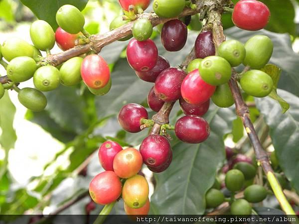 咖啡豆青的、紅的