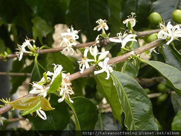 白色咖啡花