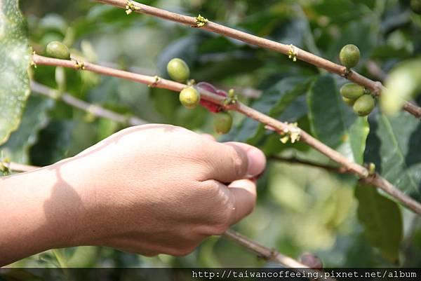 一顆顆的咖啡豆,都是手工採的。
