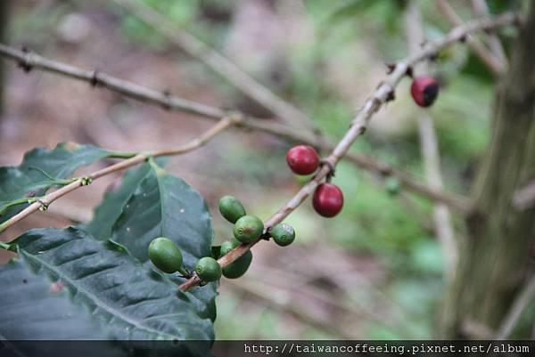 成熟的咖啡豆,是紅色的。