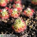 台灣蝕-崔裘凱莉迷你毛氈苔-D.-paleacea-subsp.-trichocaulis-3.jpg