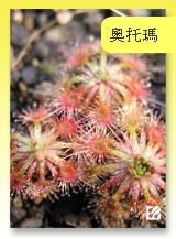 台灣蝕-奧托瑪毛氈苔-D.-allantostigma-首頁預覽.jpg