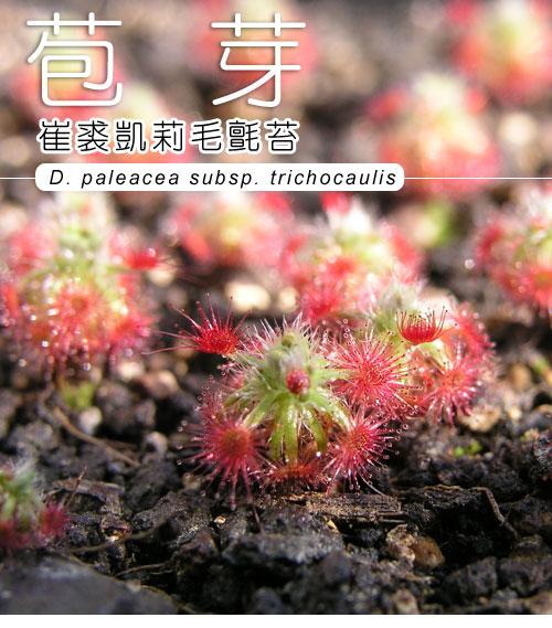 台灣蝕-崔裘凱莉迷你毛氈苔-D.-paleacea-subsp.-trichocaulis-1.jpg