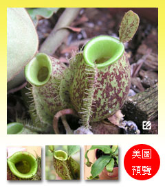 台灣蝕-斑蘋果-N. ampullaria
