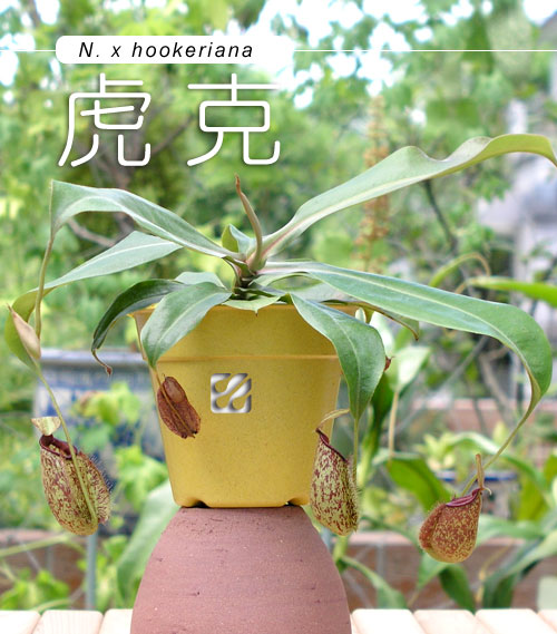 台灣蝕-虎克豬籠草-N.-x-hookeriana_01.jpg