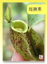 台灣蝕-斑蘋果豬籠草.jpg
