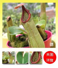 台灣蝕-寶特瓶豬籠草-N. truncata.jpg