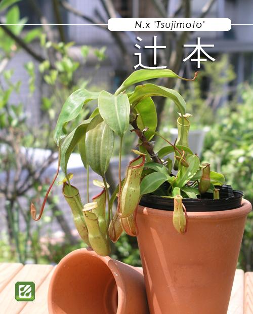 台灣蝕-辻本豬籠草-N. x 'Tsujimoto'_01.jpg