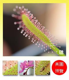 台灣蝕-好望角毛氈苔-D.-capensis_預覽