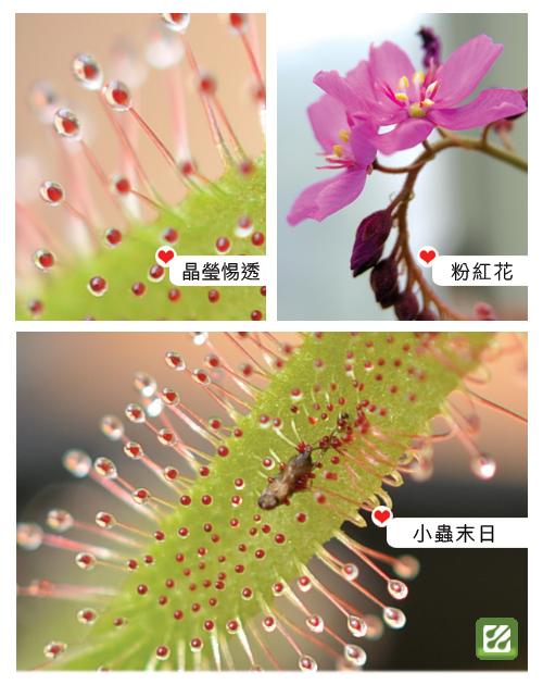 台灣蝕-好望角毛氈苔-D.-capensis_02.jpg