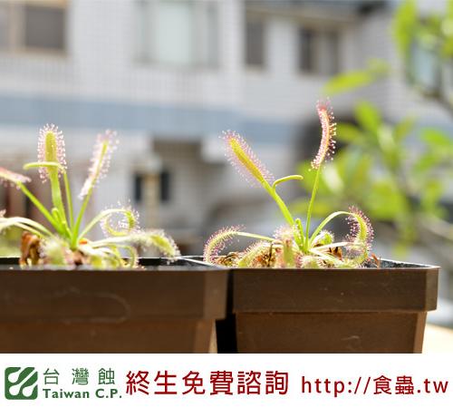 台灣蝕-好望角毛氈苔-D.-capensis_03.jpg