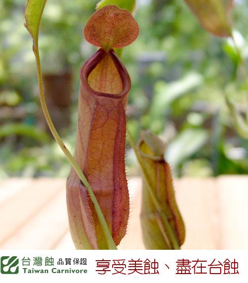 台灣蝕-奇異豬籠草-N.-mirabilis_03.jpg