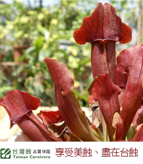 台灣蝕-園藝紫瓶子草-S.-purpurea-hybrid_03.jpg