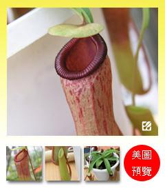 台灣蝕-葫蘆豬籠草-N. ventricosa_預覽.jpg