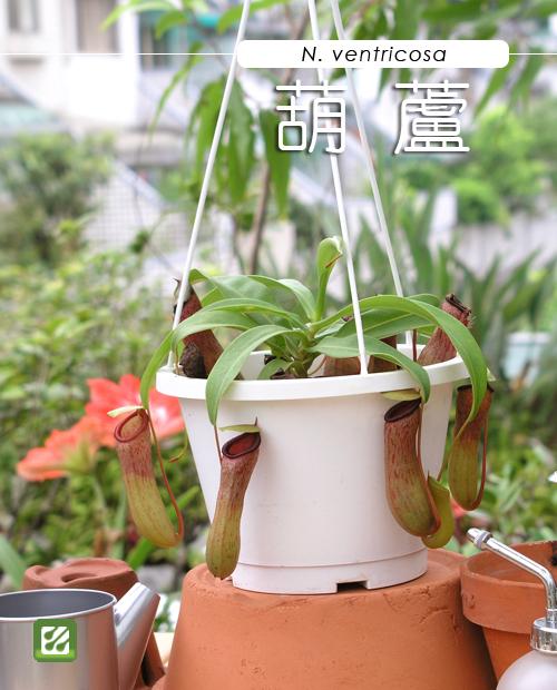台灣蝕-葫蘆豬籠草-N. ventricosa_01.jpg