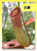 台灣蝕-葫蘆豬籠草.jpg