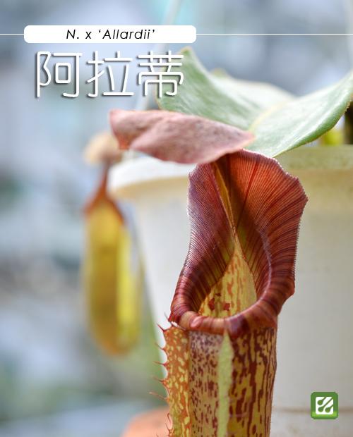 台灣蝕-阿拉蒂豬籠草_01.jpg