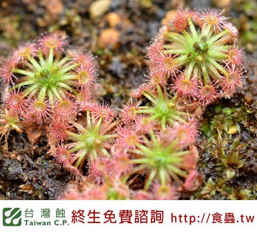 台灣蝕-卡巴奧毛苞芽-03.jpg