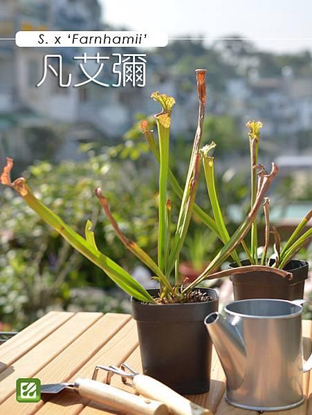台灣蝕_凡艾彌瓶子草_01.jpg
