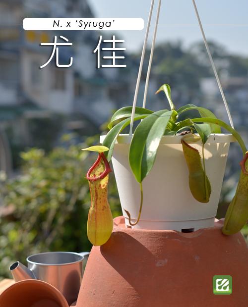 台灣蝕-尤佳豬籠草-N. x 'Syruga'_01.jpg