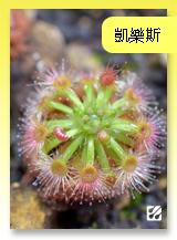 台灣蝕_凱樂斯毛氈苔_top.jpg