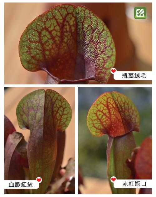 台灣蝕-思維那瓶子草-S.-Swaniana_02.jpg