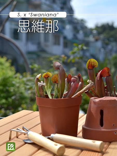 台灣蝕_思維那瓶子草_01