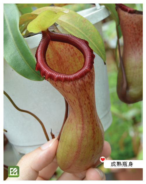 台灣蝕-葫蘆豬籠草-N. ventricosa_04.jpg
