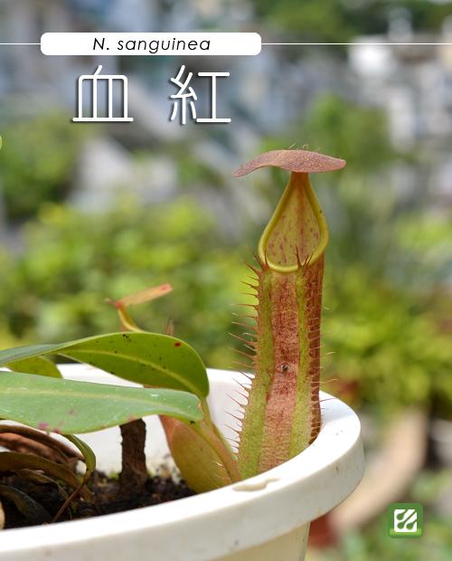 台灣蝕-血紅豬籠草-N. sanguinea_01.jpg