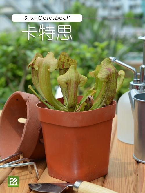 台灣蝕-卡特思瓶子草-S.-Catesbaei_01.jpg