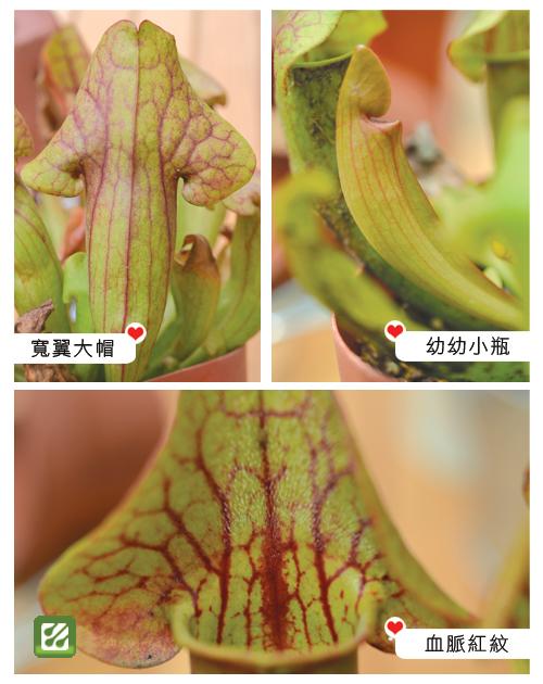 台灣蝕-卡特思瓶子草-S.-Catesbaei_02.jpg