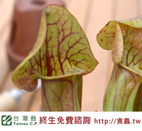 台灣蝕-卡特思瓶子草-S.-Catesbaei_03.jpg