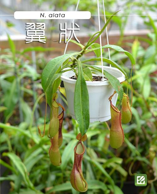 台灣蝕-翼狀豬籠草-N. alata_01.jpg