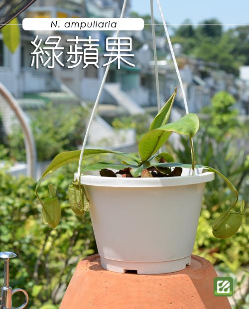 台灣蝕-綠蘋果豬籠草-N. ampullaria_01.jpg