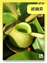 台灣蝕-綠蘋果豬籠草.jpg