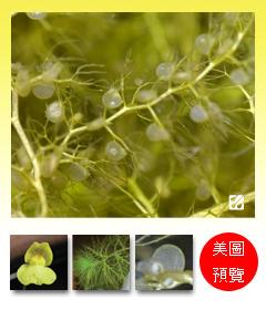 台灣蝕-黃花貍藻-Utricularia aurea_預覽.jpg