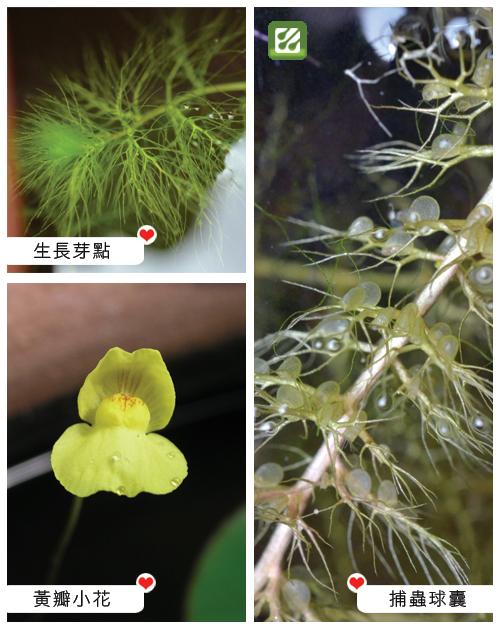 台灣蝕-黃花貍藻-Utricularia aurea_02.jpg